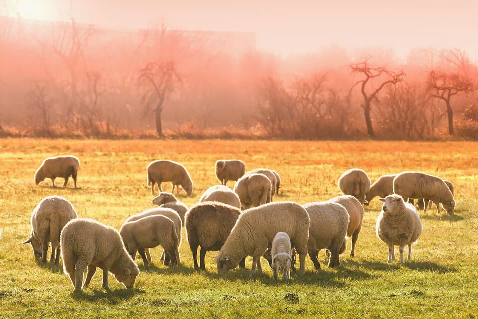 Friss piaci információk a juh- és kecsketenyésztéssel kapcsolatban